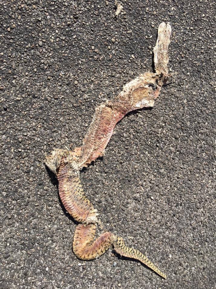 Rattlesnake Road Kill IMG_3442